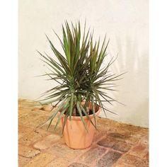 Image of Foliage Marginata In 10in Pot