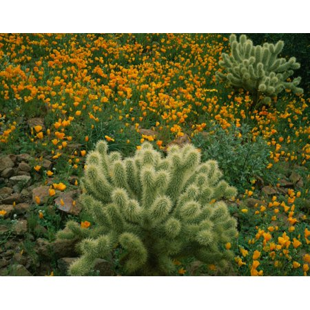 High angle view of Mexican Gold Poppies (Eschscholzia mexicana) with Teddy Bear Cholla (Opuntia bigelovii) Cactus in a field Superstition Mountains Hewitt Canyon Tonto National Forest Pinal County