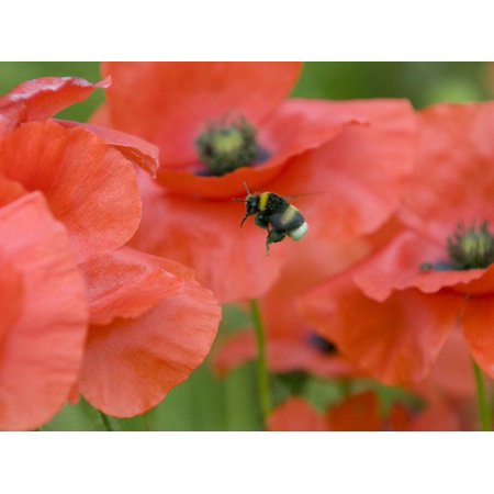 Bumble Bee Flying to Poppy Flower to Gather Pollen, Hertfordshire, England, UK Print Wall Art By Andy Sands (Gathered Flower)