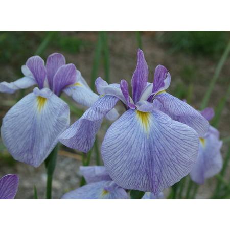 Imperial Magic Japanese Iris Ensata   Water Or Garden Plant   4  Pot