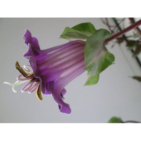 Canvas Print Bell Vine Climber Bloom Purple Blossom Nature Stretched Canvas 10 x 14