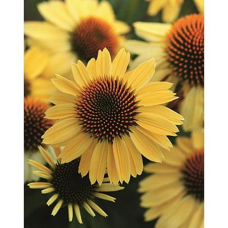 Coneflower Harvest (Sombrero™ Lemon Yellow Coneflower Perennial - Echinacea - Gallon Pot)