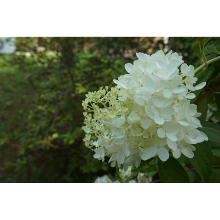 Laminated poster nature pure white flowers poster 24x16 adhesive laminated poster nature pure white flowers poster 24x16 adhesive decal mightylinksfo