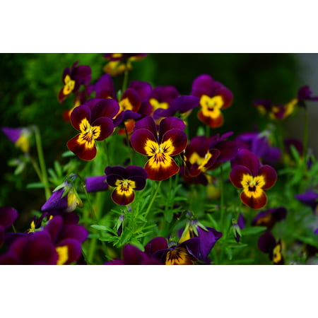 Laminated Poster Viola Blossom Bloom Pansy Yellow Violet Flower Poster Print 11 x 17