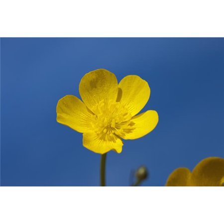 Posterazzi DPI1878155LARGE A Yellow Buttercup Against A Blue Sky - Northumberland, England Poster Print, 38 x 24 - Large - image 1 of 1