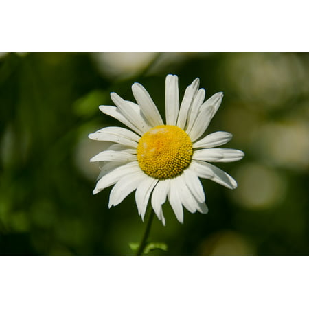 LAMINATED POSTER Flowers Bloom Closeup Daisy Summer Flower White Poster Print 24 x 36