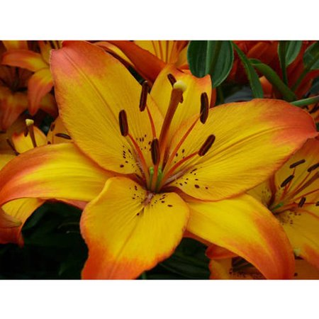 Euroblooms Lily Asiatic Cancun, 6 Flower Bulbs