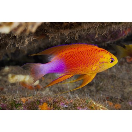 Hawaii A Male Hawaiian Longfin Anthias  Pseudanthias Hawaiiensis  Swimming On The Ocean Floor Posterprint