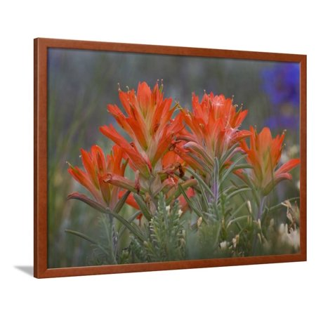 - Indian Paintbrush (Castilleja), Sangre De Cristo Mountains, Colorado, USA Framed Print Wall Art By Don Grall