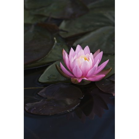 A water lily blooms in a pond Astoria Oregon United States of America Stretched Canvas - Robert L Potts  Design Pics (24 x 38)