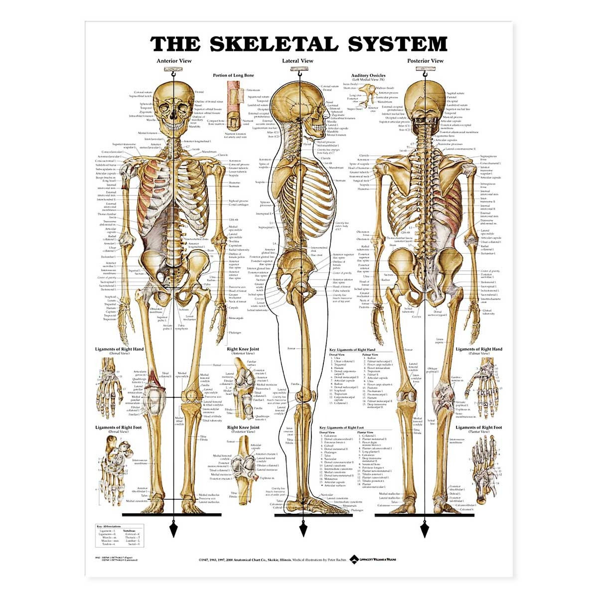 The Skeletal System Anatomical Chart-Laminated