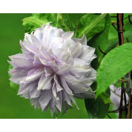 Belle of Woking Clematis Vine - Double Flower/Pink to Silvery Mauve - 2.5