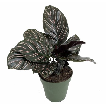 """Pin Stripe Prayer Plant - Calathea ornata - Easy House Plant - 4"""" Pot"""