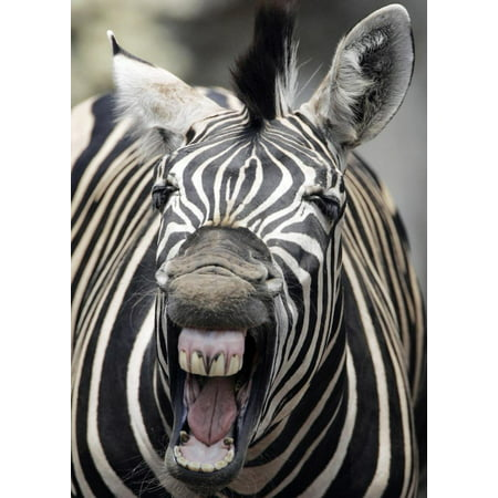 Laminated Poster Angry Zebra Black White Striped Mad Cool Poster Print 24 x - Mad Stripe
