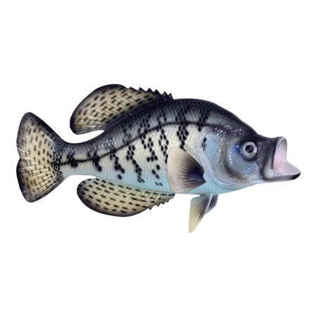 Tropical Fish Plaques (Fishermans Dream Black Crappie Fresh Water Fish 14 Inch Resin Wall Decor Plaque)