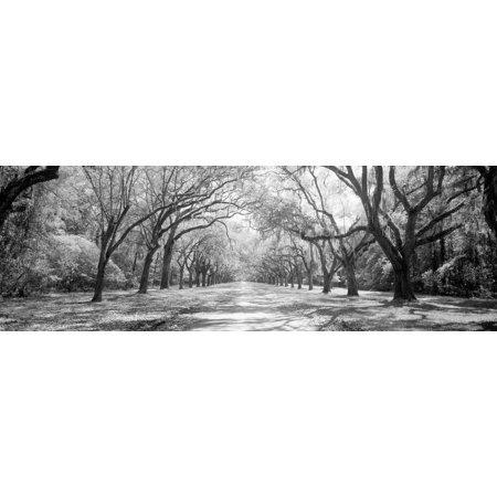 Live Oaks and Spanish Moss Wormsloe State Historic Site Savannah GA Print Wall