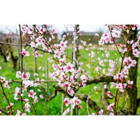 Peel-n-Stick Poster of Blossom White Bloom Red Cherry Blossom Wild Cherry Poster 24x16 Adhesive Sticker Poster - Red Cherry Blossom