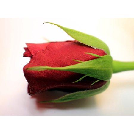 LAMINATED POSTER Flower Multi Coloured Rose Petals Rose Bloom Rose Poster Print 24 x 36 - Multi Petal Flower Pin