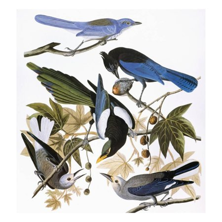 Kenneth Jay Lane Art (Audubon: Jay And Magpie Print Wall Art By John James Audubon )