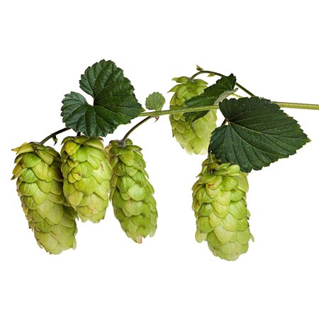 2005 Four Vines (Tahoma Beer Hops Vine - Humulus - Grow your own Beer! - 4