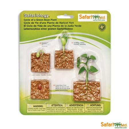 Safari Ltd. Life Cycle Of A Green Bean Plant -  4 Stages of (Life Cycle Of A Bean Plant For Kids)