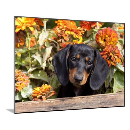 Smooth-Haired Mini Dachshund Puppy in Box Wood Mounted Print Wall Art By Lynn M. Stone ()