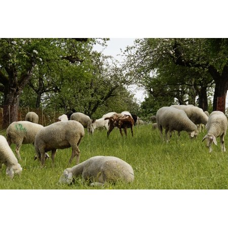 LAMINATED POSTER Sheep Reject Sheep Pasture Orchards Graze Poster Print 24 x 36