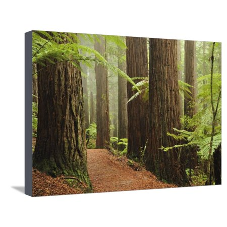 Redwoods and Tree Ferns, the Redwoods, Rotorua, Bay of Plenty, North Island, New Zealand, Pacific Stretched Canvas Print Wall Art By Jochen