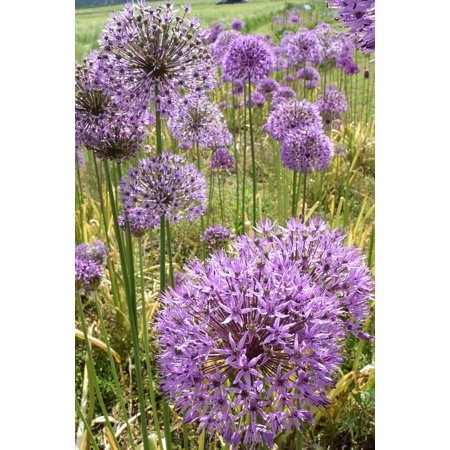Canvas Print Blossom Leek Nature Bloom Ornamental Onion Stretched Canvas 10 x 14