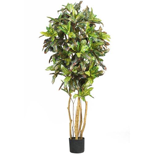 5' Croton Silk Tree