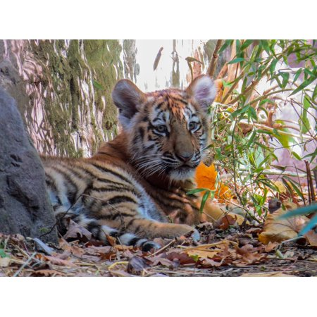 Laminated poster young tiger cute tiger cub tiger young animal laminated poster young tiger cute tiger cub tiger young animal poster 24x16 adhesive decal altavistaventures Images