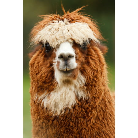 Brown Curls (LAMINATED POSTER Curly Single Alpaca Fluffy Face Brown Animal Poster Print 24 x)