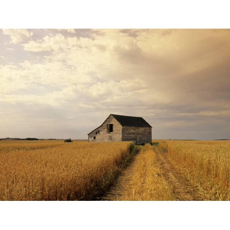 Old Barn in Maturing Spring Wheat Field, Tiger Hills, Manitoba, Canada. Country Farm Landscape Photo Print Wall Art By Dave