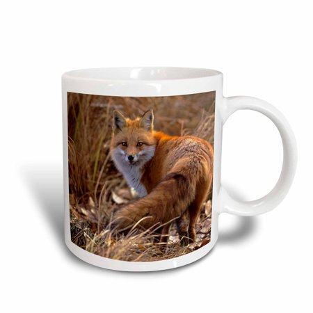 3dRose Colorado, Jefferson County. Red Fox - US06 BJA0261 - Jaynes Gallery, Ceramic Mug, 15-ounce