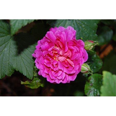 Framed Art for Your Wall Rose Flora Leaves Pink Princess Anne Flower Buds 10x13 Frame](Princess Frames)