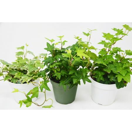 3 Different English Ivy Plants - 4