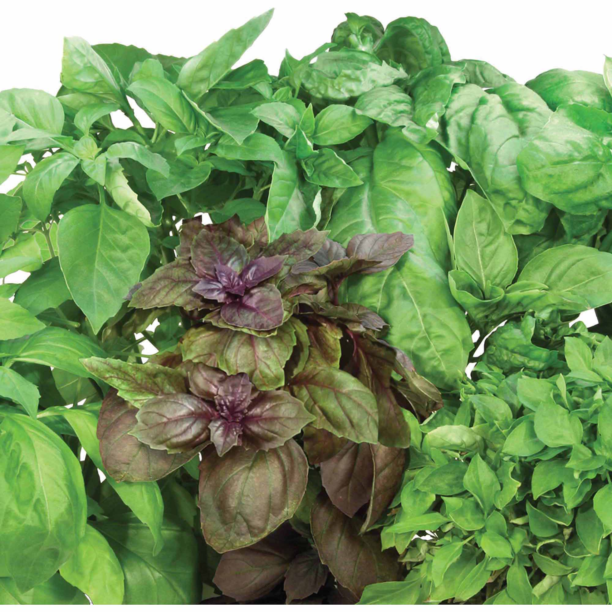 Miracle-Gro AeroGarden International Basil 7-Pod Seed Kit