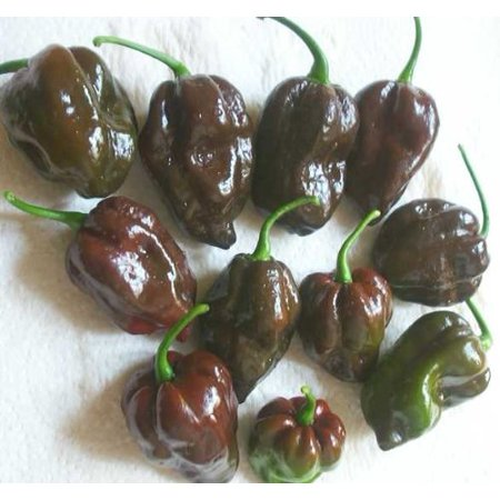 Amaryllis Bulbs Wholesale (Pepper HOT Chocolate Habanero Great Heirloom Vegetable 300 Seeds BULK Wholesale)