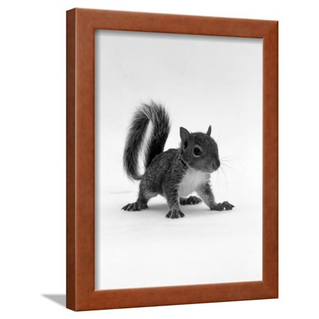 Baby Grey Squirrel, Portrait Framed Print Wall Art By Jane Burton