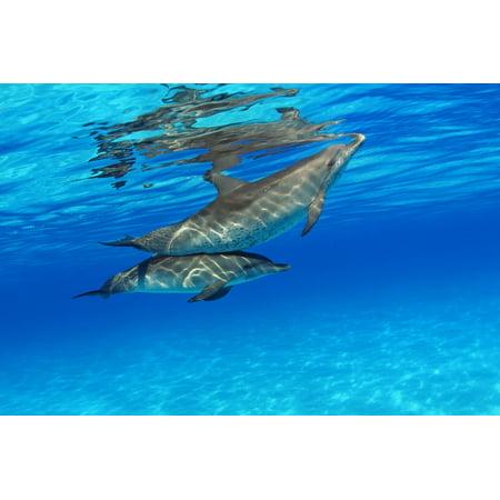 Caribbean Bahamas Bahama Bank Two Atlantic Spotted Dolphin Stenella Plagiodon Canvas Art   Dave Fleetham  Design Pics  18 X 12