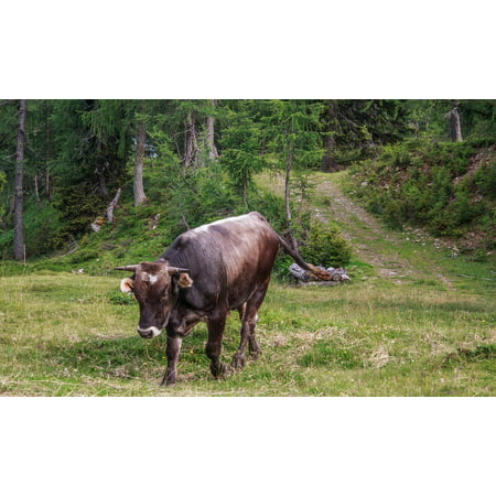 Canvas Print Alpine Beef ALM Bull Cattle Horns Agriculture Stretched Canvas 10 x 14