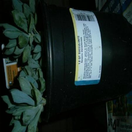 Image of 1.0 QT SUCCULENTS- Senecio kleiniiforms PLUS SURPRISE PLANT FREE