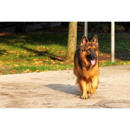 Canvas Print Sch??fer Dog Dog Old German Shepherd Dog Animal Pet Stretched Canvas 10 x (Best Dog Toys For German Shepherds)