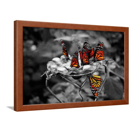 Butterflies at the Bronx Zoo NYC Framed Print Wall Art