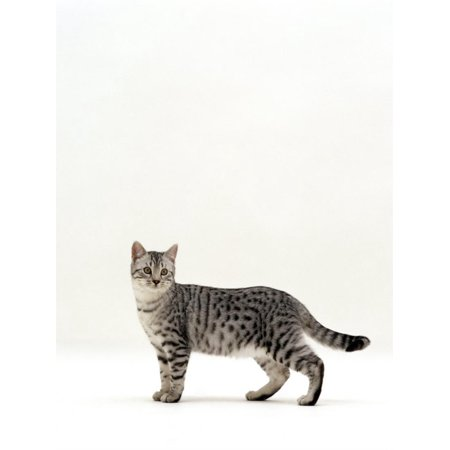 - Domestic Cat, 5-Month Silver Spotted Shorthair Male, Standing with Tail Relaxed Print Wall Art By Jane Burton