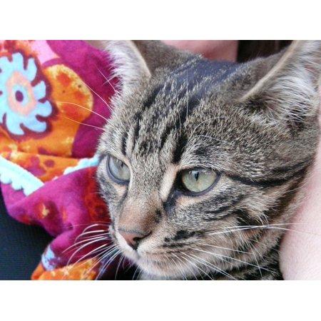 LAMINATED POSTER Cute Cat Face Sweet Eyes Cat Mackerel Animal Poster Print 24 x 36