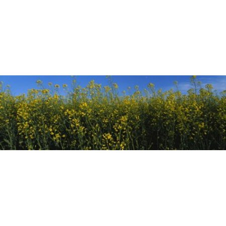 Image of Canola flowers in a field Edmonton Alberta Canada Canvas Art - Panoramic Images (36 x 12)