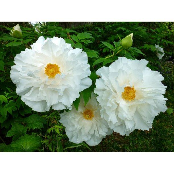 Japanese Tree Peony Renkaku White Blooms 2 Year Bareroot