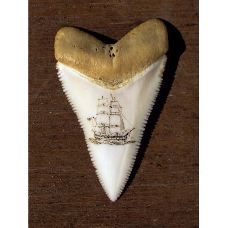Scrimshaw Carving on a Great White Shark Tooth (Carcharodon Carcharias) Print Wall Art By David (Scrimshaw Tooth)