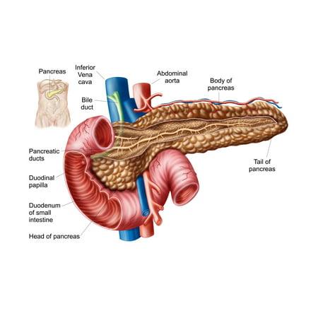 Anatomy Of Pancreas Poster Print Walmart